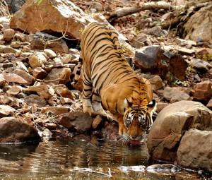 Tiger Lp 2